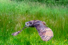 Free Great Horned Owl Flying 3 Stock Image - 2642791