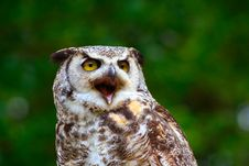 Free Great Horned Owl 9 Stock Images - 2642884