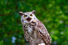 Free Great Horned Owl 11 Stock Photos - 2642903