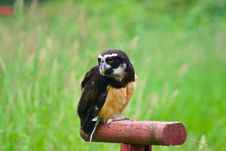 Free Spectacled Owl 1 Royalty Free Stock Photos - 2642938
