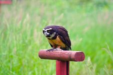 Free Spectacled Owl 2 Royalty Free Stock Photo - 2642955