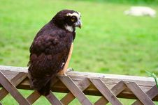 Free Spectacled Owl 4 Royalty Free Stock Images - 2642989
