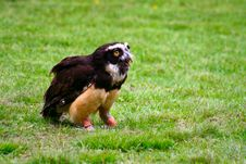 Free Spectacled Owl 8 Royalty Free Stock Photography - 2643037