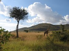 Giraffe And Lone Tree Royalty Free Stock Photo