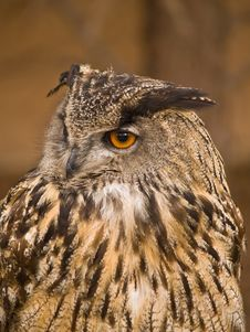 Portrait Of Wise Owl Royalty Free Stock Photo