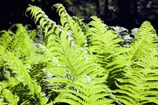 Free Fern-1 Stock Images - 2646634