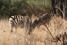 Free Zebra In Africa Stock Photo - 2648700