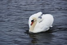 Free Mute Swan Royalty Free Stock Photos - 26400818