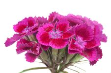 Free Pink Sweet William &x28;Dianthus Barbatus&x29; Flowers Royalty Free Stock Photography - 26402077