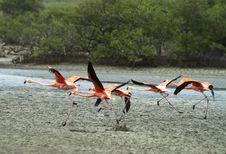 Free Flamingo Taking Off. Stock Photo - 26404420