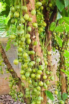 Free Green Burmese Grape Stock Images - 26406624