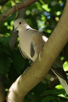 Free Eurasian Collared Dove Stock Images - 26408364