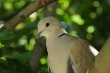 Free Eurasian Collared Dove Head Shot Royalty Free Stock Photography - 26408387
