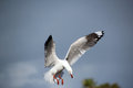 Free White Seagull Landing In Estuary Stock Photo - 26419240