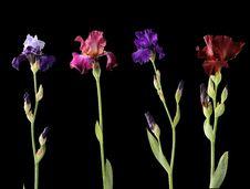 Free Four Different Irises Stock Image - 26411141
