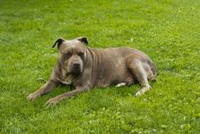 American Pit Bull Terrier Red Nose Stock Photography