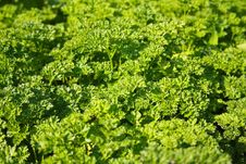 Free Spice - Parsley Stock Photo - 26411870