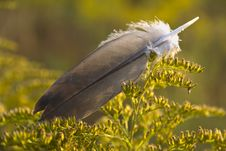 Free Feather Royalty Free Stock Image - 26417896