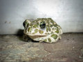 Free Toad Stock Photos - 26423363