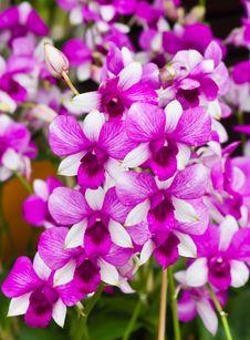 Free Beautiful Purple Orchid - Phalaenopsis Stock Photography - 26427092