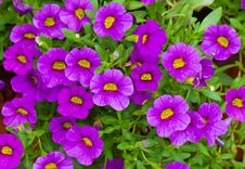 Free Petunia Is A Widely Cultivated Genus Royalty Free Stock Photo - 26427125