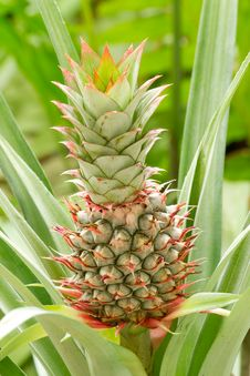 Free Pine Apple Stock Images - 26427584
