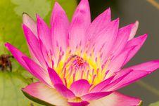 Free Purple Lotus. Royalty Free Stock Images - 26427959
