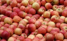 Freshly Picked Apples. Royalty Free Stock Image