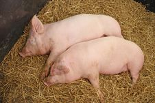Free Two Pink Pigs. Stock Photo - 26428170