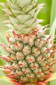 Free Pine Apple Stock Images - 26428264