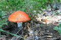 Free Beautiful Red Toadstool In Autumn Forest Royalty Free Stock Photo - 26431865