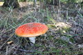 Free Beautiful Red Toadstool In Autumn Forest Royalty Free Stock Images - 26432669