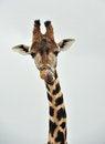 Free Giraffe Royalty Free Stock Photos - 26436718
