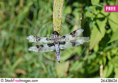 Free Eight Spotted Skimmer Royalty Free Stock Image - 26438626