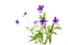 Free Violet Stock Photo - 26435590