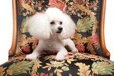Toy Poodle On Floral Chair Royalty Free Stock Photos