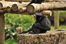Free Screaming Monkey Royalty Free Stock Image - 26436496