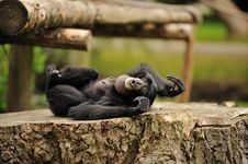 Free Cheeky Monkey Stock Photo - 26436540