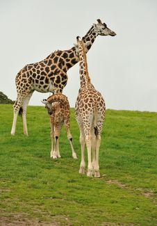 A Giraffe Family Royalty Free Stock Photos