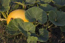 Free Pumpkin Stock Photos - 26436713