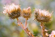 Free Close Up Of Purple Thistles In Summer Stock Images - 26437464