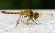 Free Dragonfly Stock Images - 26439114