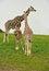Free A Giraffe Family Royalty Free Stock Photos - 26436688