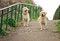 Free Labrador Retriever Royalty Free Stock Image - 26436846