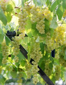 Free Bunch Of Ripe Grape Royalty Free Stock Images - 26441519
