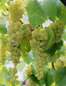 Free Bunch Of Ripe Grape Stock Images - 26441544