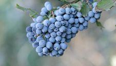 Free Wild Blueberry Royalty Free Stock Photo - 26441645