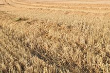 Free Harvested Wheat Field Royalty Free Stock Photography - 26444517