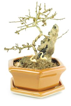 Free Bonsai Tree In A Pot Royalty Free Stock Photo - 26447655
