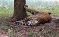Free Majestic Royal Bengal Tiger At Mysore Zoo, India Royalty Free Stock Images - 26459679